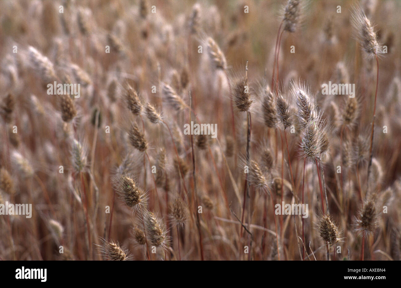 Close up of the ears of grasses illuminated by the sun - Stock Image
