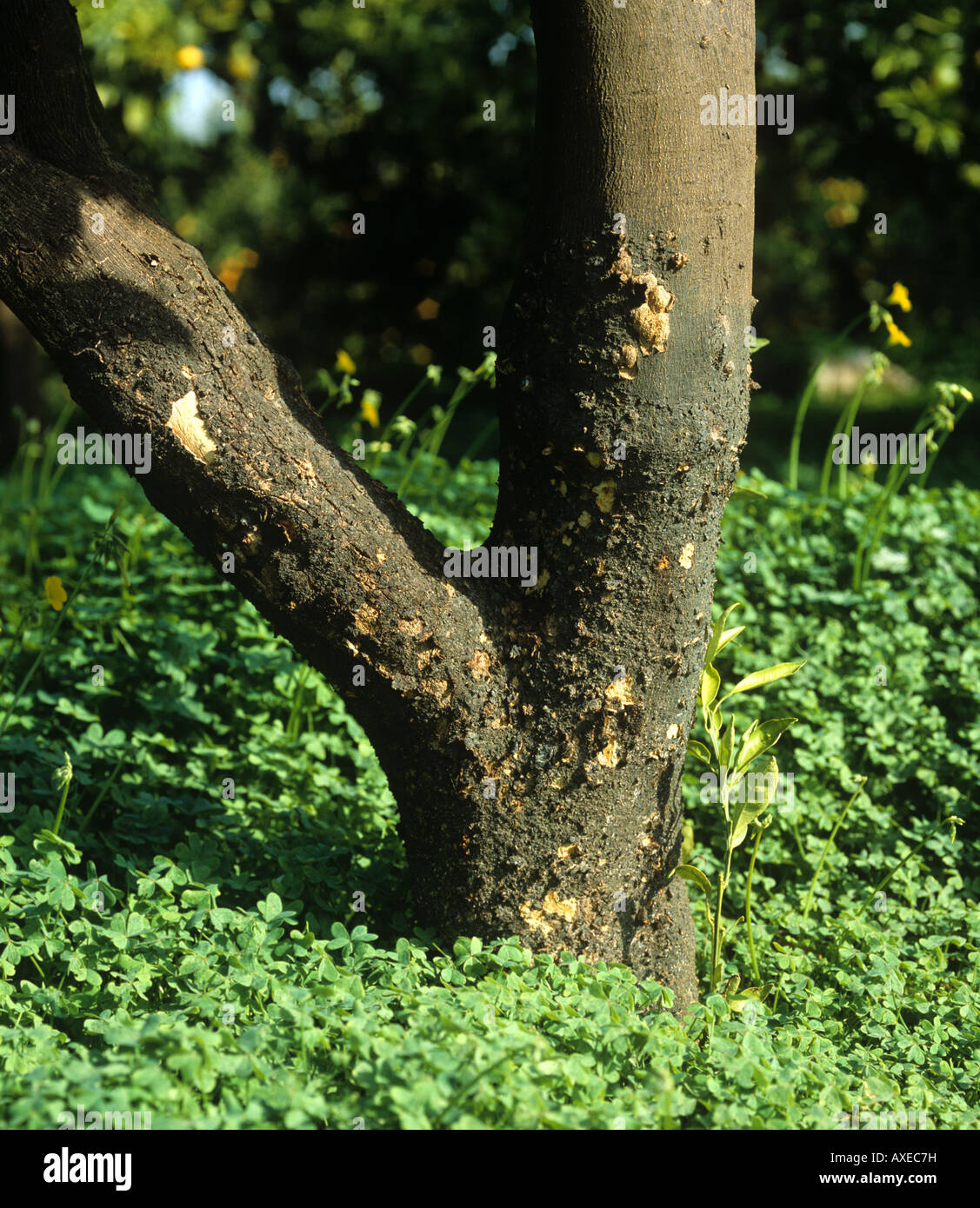 Scaly bark Citrus psorosis virus CSV symptoms on a citrus tree bark - Stock Image