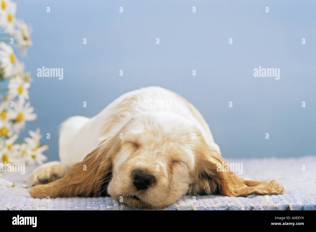 Cocker Spaniel puppy - sleeping - Stock Image