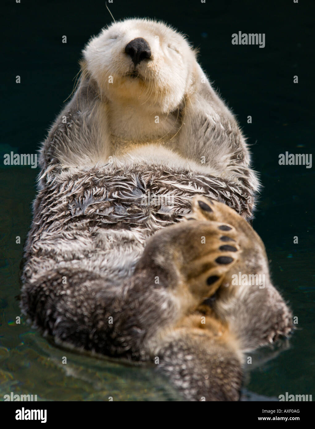 otter enjoying the sun while floating Stock Photo