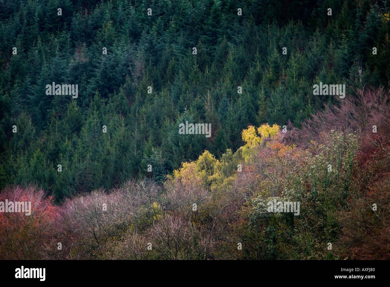Forest in autumn Blorenge Llanfoist Wales UK - Stock Image