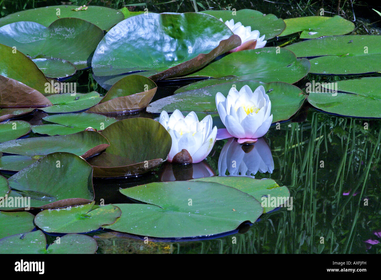 water-lilies in pond Stock Photo