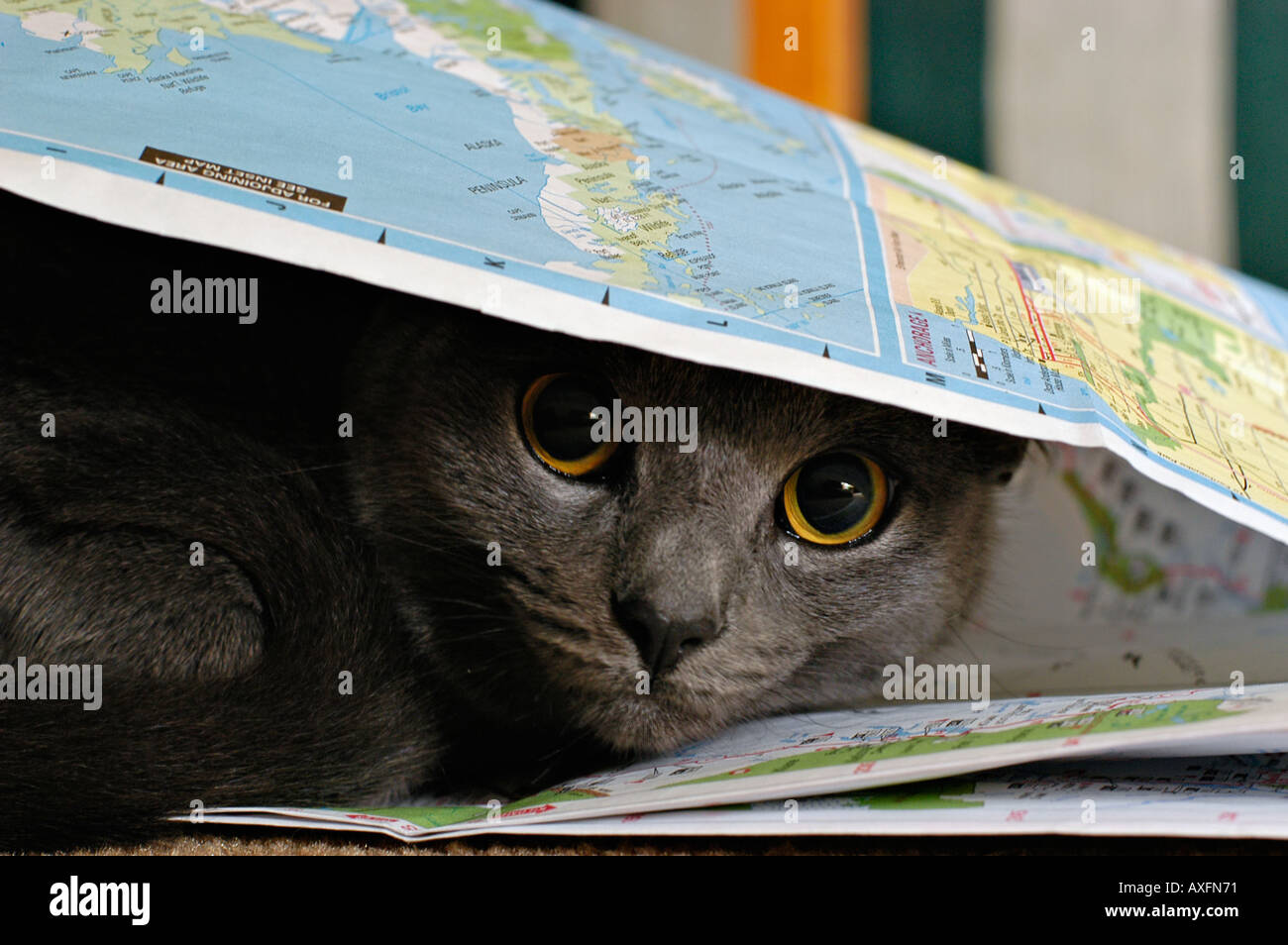 Grey cat hiding under the map - Stock Image