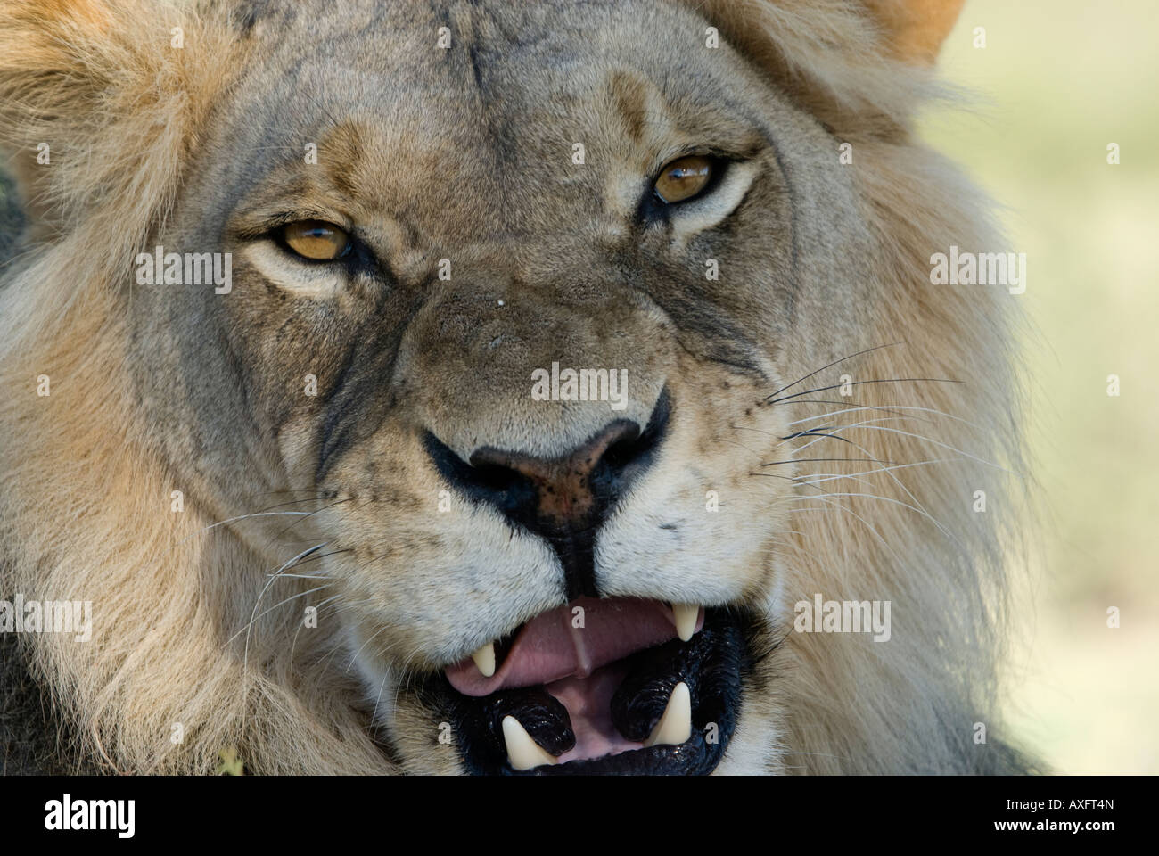 A lion snarls as it rests on the sand in the Kalahari - Stock Image