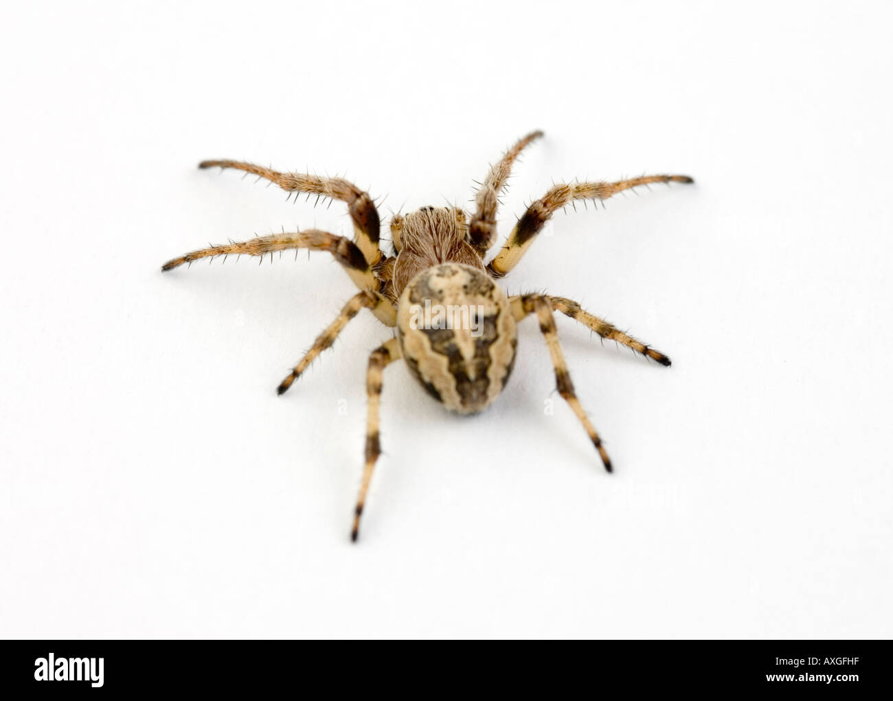 walnut orb-weaver spider - Stock Image