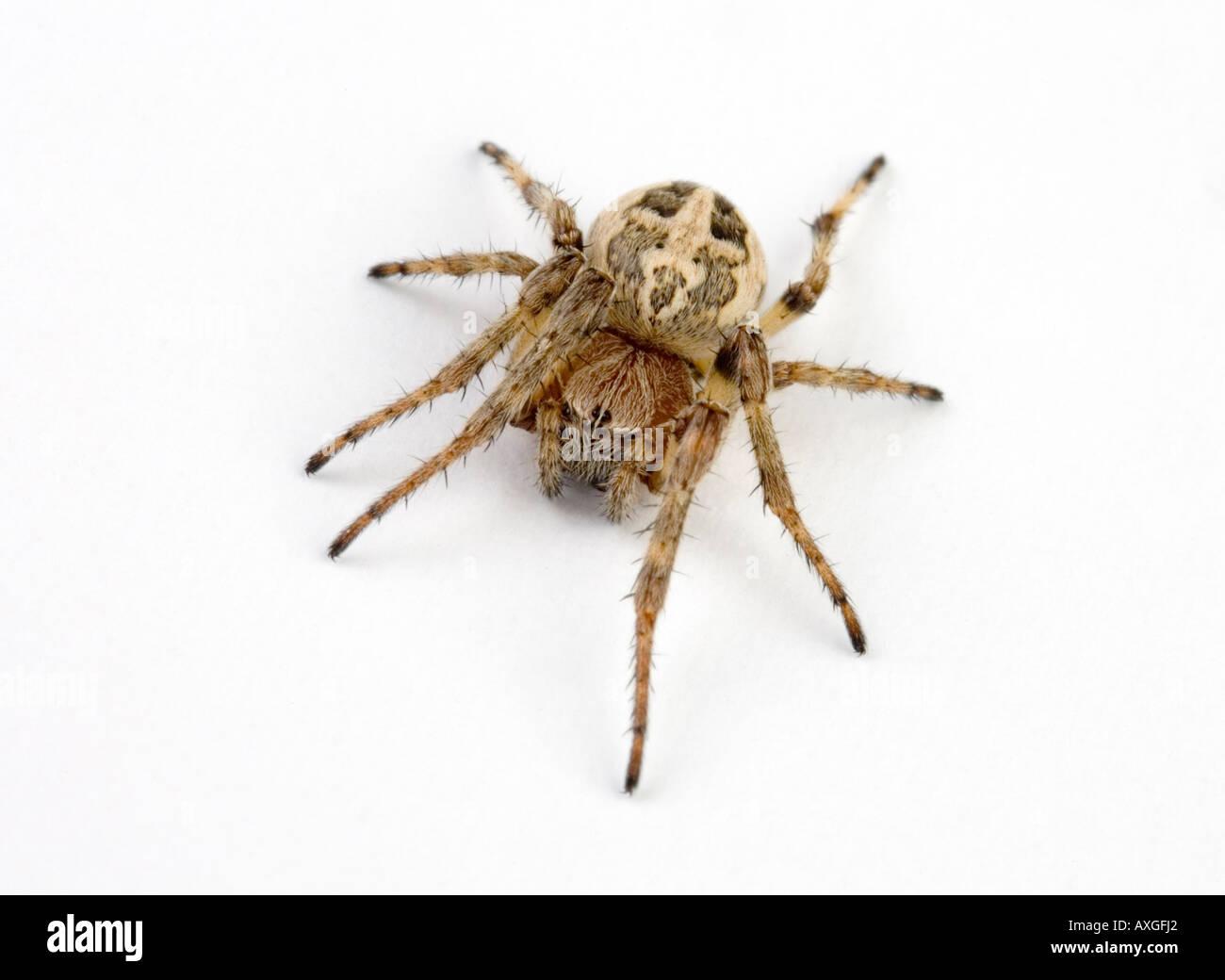 walnut orb-weaver spider - Stock Image