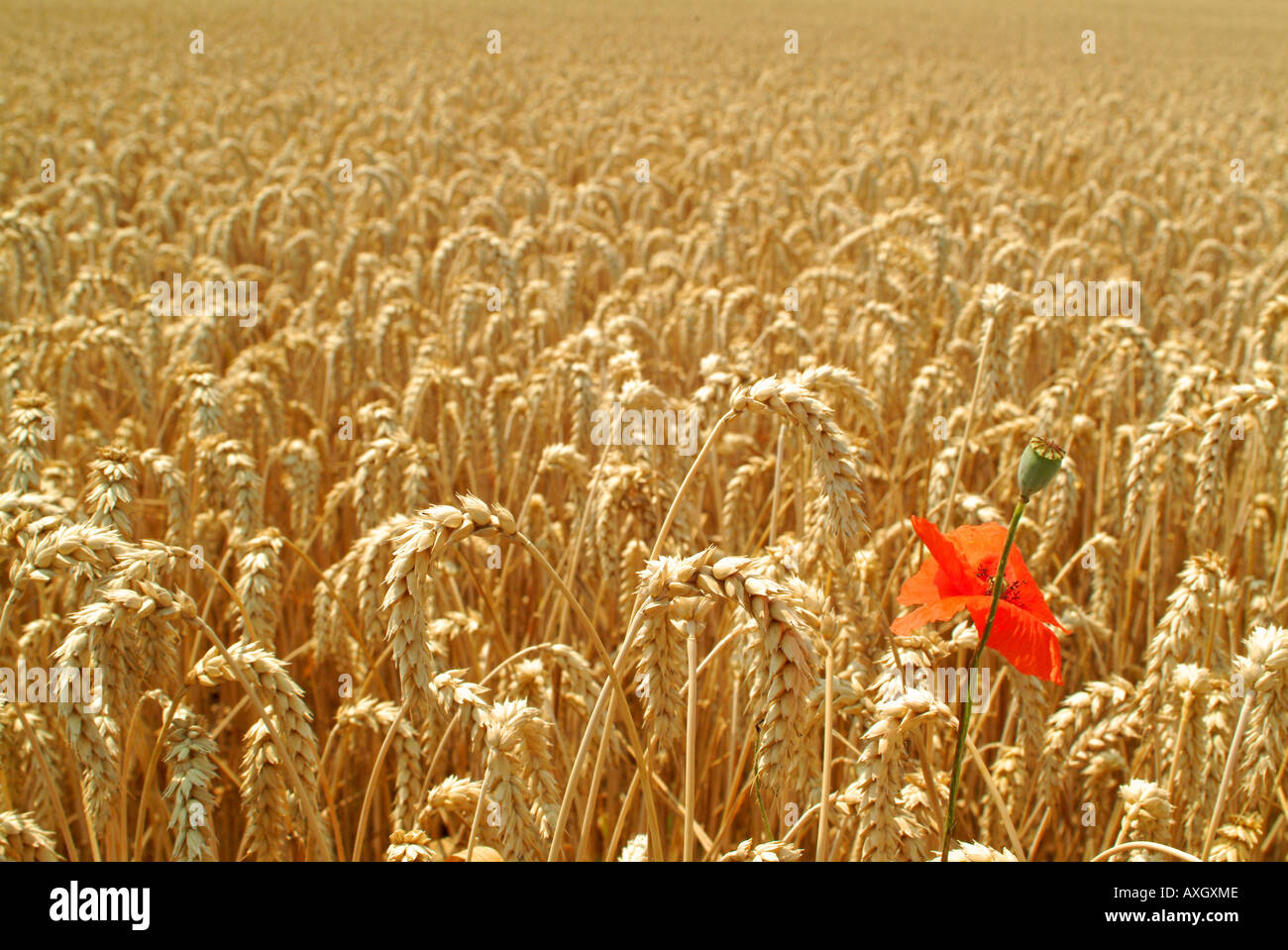 rye field and a poppy Roggenfeld und ein Mohn - Stock Image