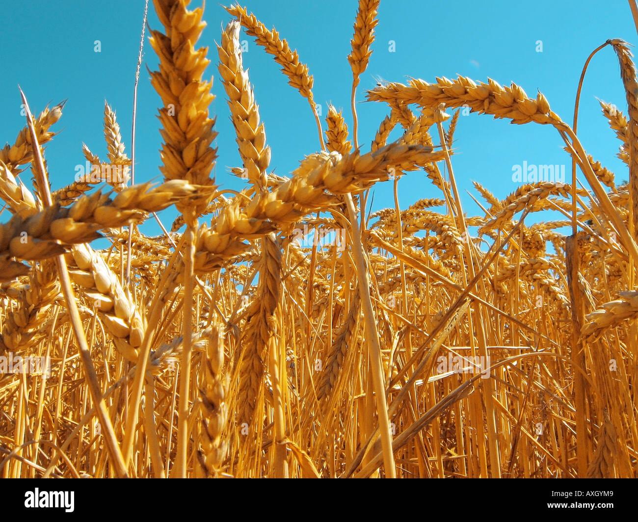 wheat Weizenähren Stock Photo