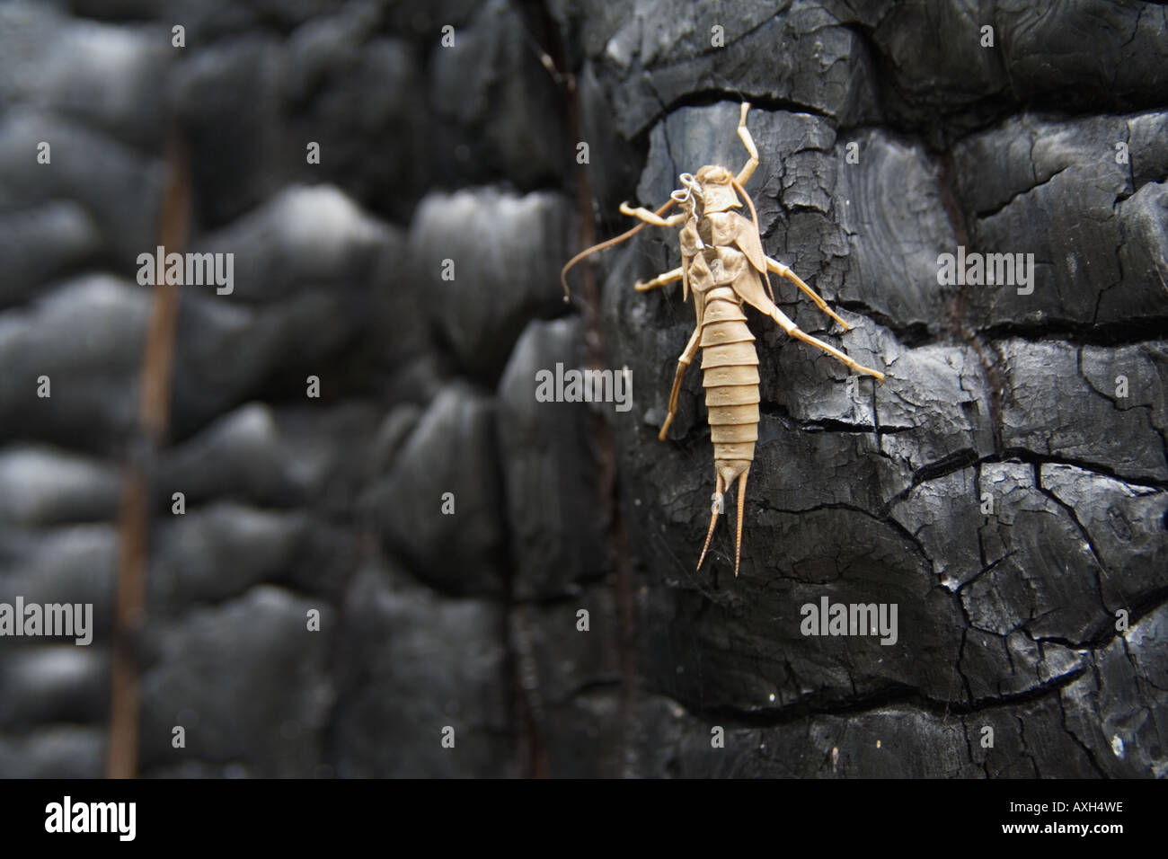 Empty Plecoptera stonefly nymph shell on burned log - Stock Image