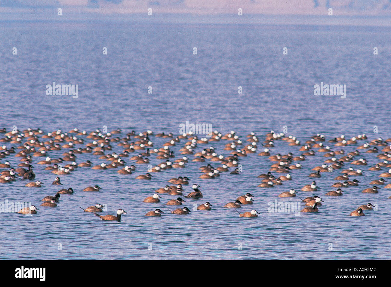 Endangered white headed ducks Oxyura Leucocephala in Burdur Lake Turkey - Stock Image