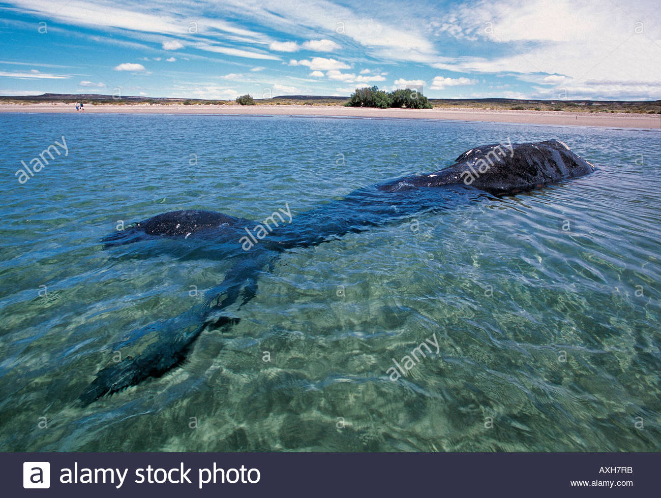 Grounded southern right whale, Ballena franca, in Nuevo Bay, Patagonia Argentina. - Stock Image