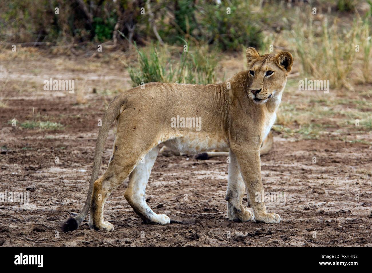 Tanzania Lake Manyara National Park lion panthera leo - Stock Image