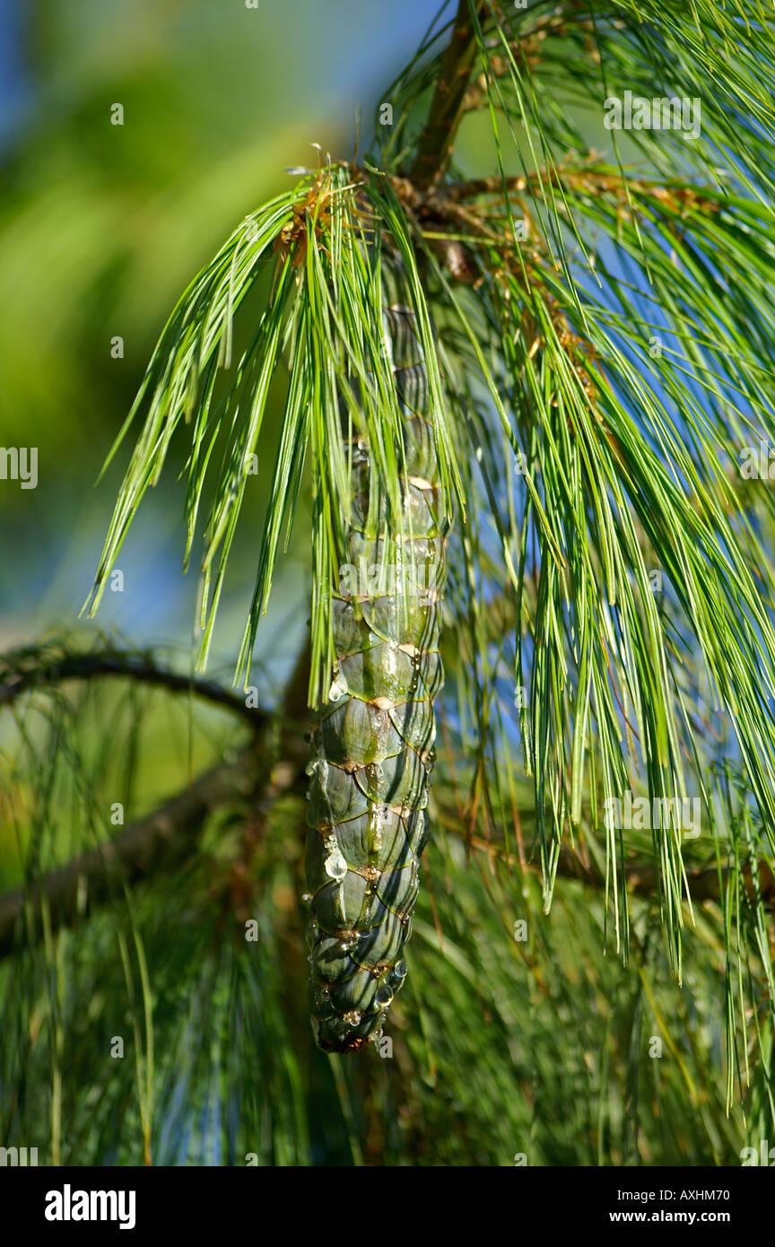 Pinaceae Kieferngewaechs Pinus wallichiana A B JACKS Traenen Kiefer ...