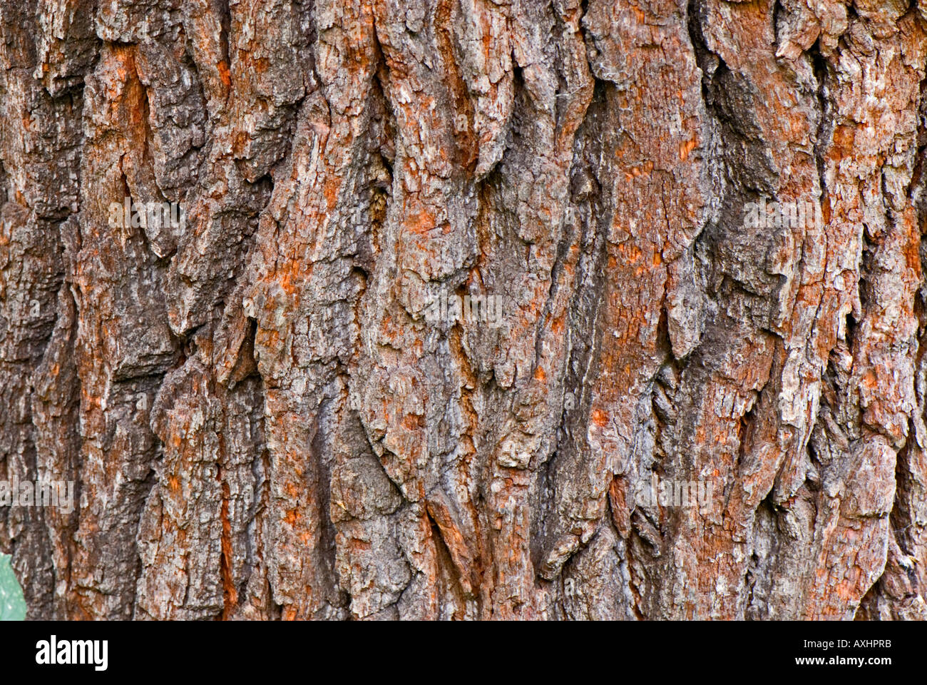 Bark of an old oak tree in Epping Forrest - Stock Image