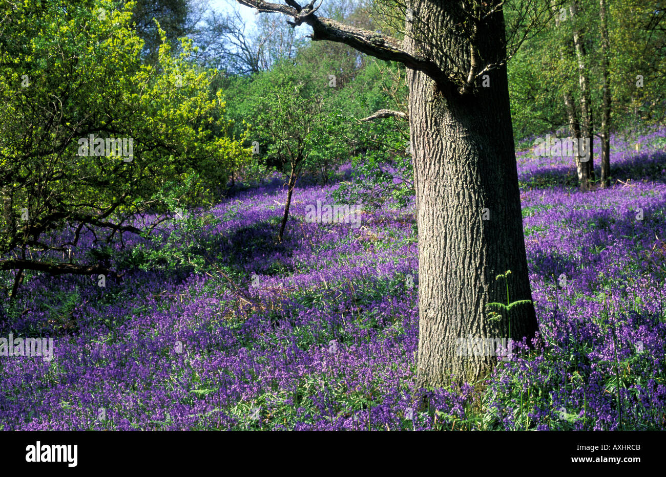 Vibrantly coloured bluebells covering the ground around a tree trunk in bluebell woods Stock Photo