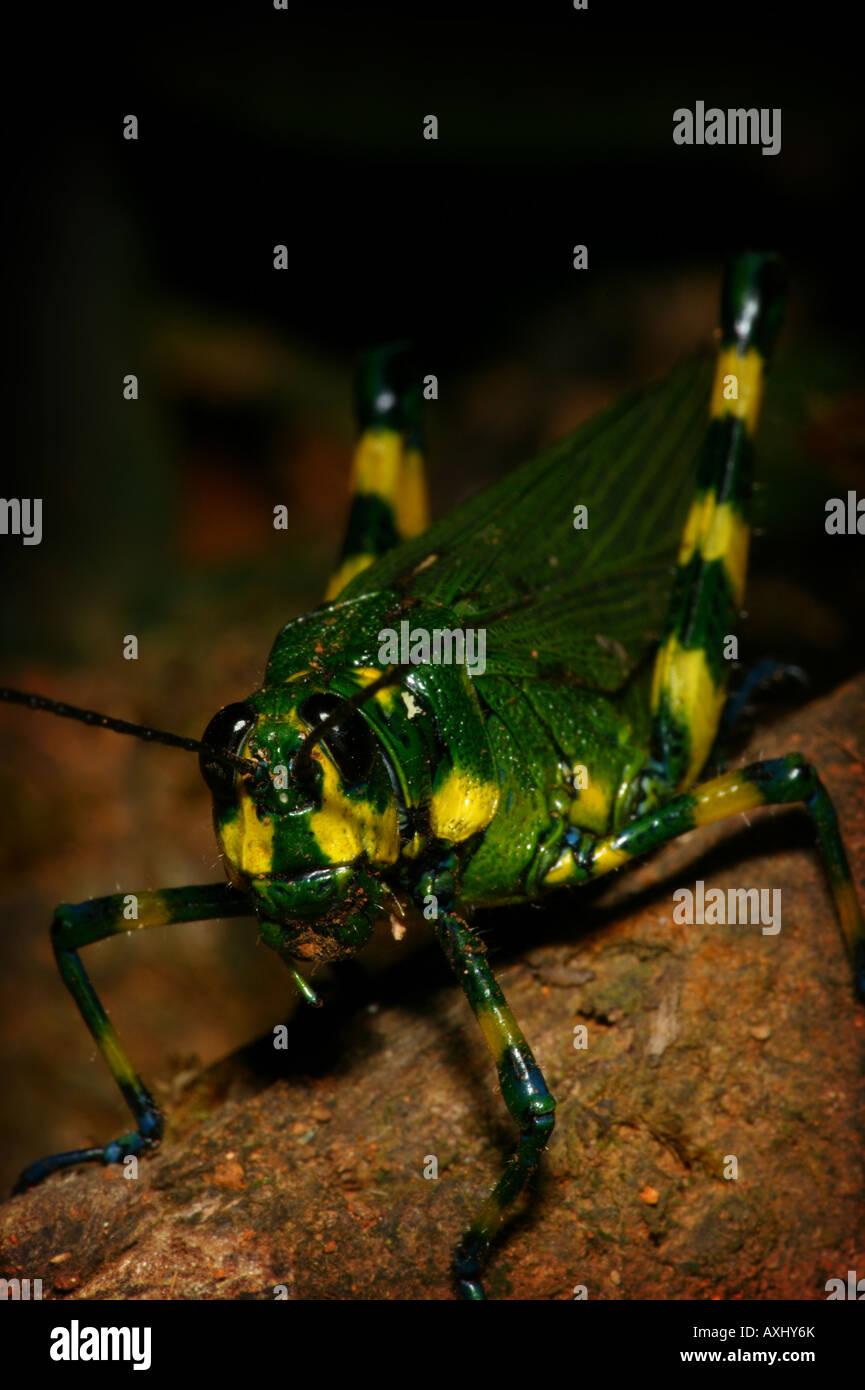 Yellow -striped grasshopper, Chromacris psittacus, in the rainforest at Cerro Pirre, Darien national park, Republic of Panama Stock Photo