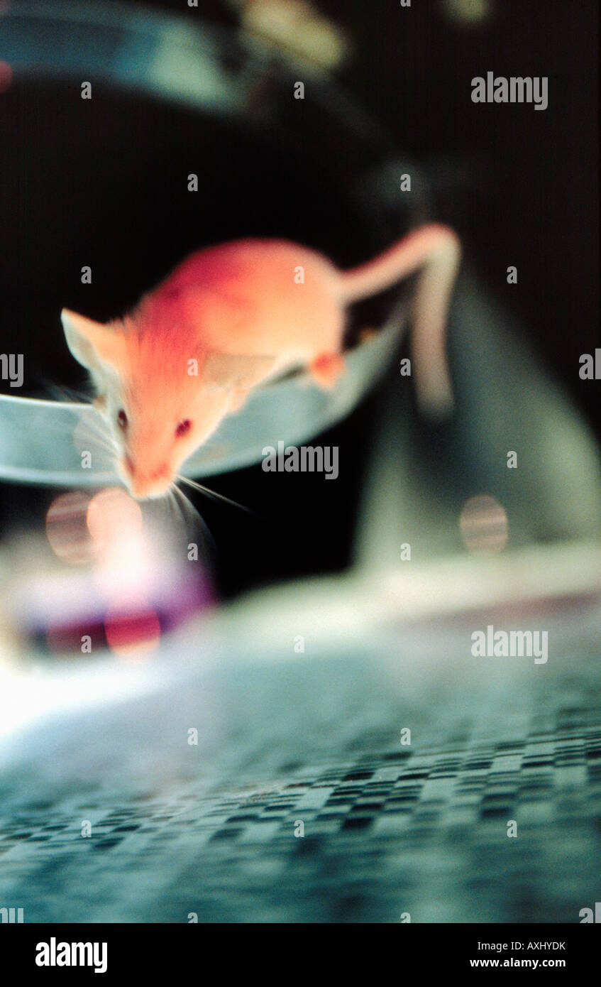 genemodified mouse with its DNA sequence below - Stock Image