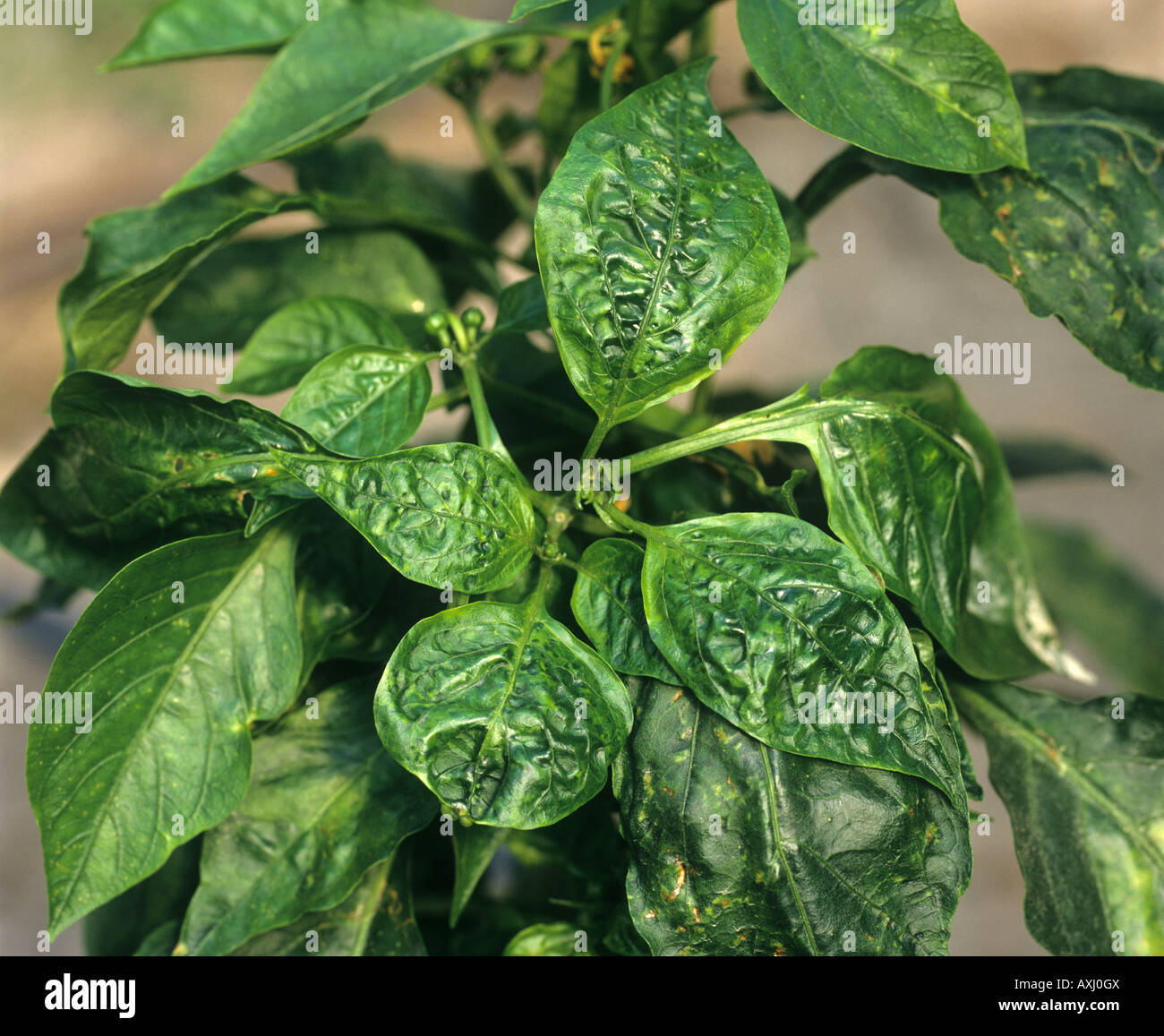 Cucumber mosaic virus CMV distortion of the leaves of a sweet pepper plant Portugal - Stock Image