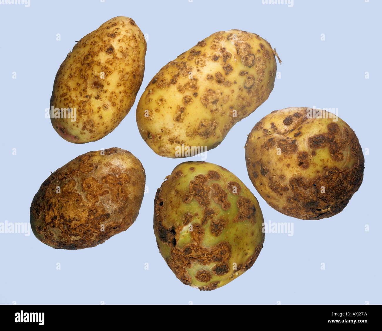 Common scab Streptomyces scabies disease symptoms on potato tubers