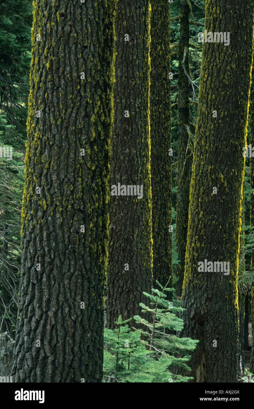 Mt. Ashland, Rogue River National Forest, Shasta Red FIrs,(Abies magnifica) Oregon - Stock Image