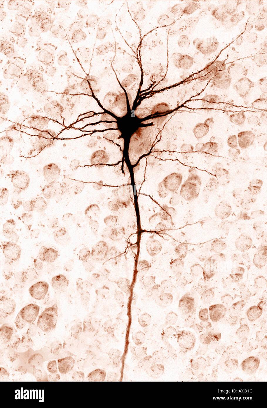 a single brain cell neuron - Stock Image