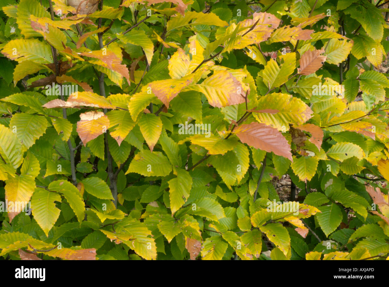 American beech trees (Fagus grandiflora) leafs changing colors ...