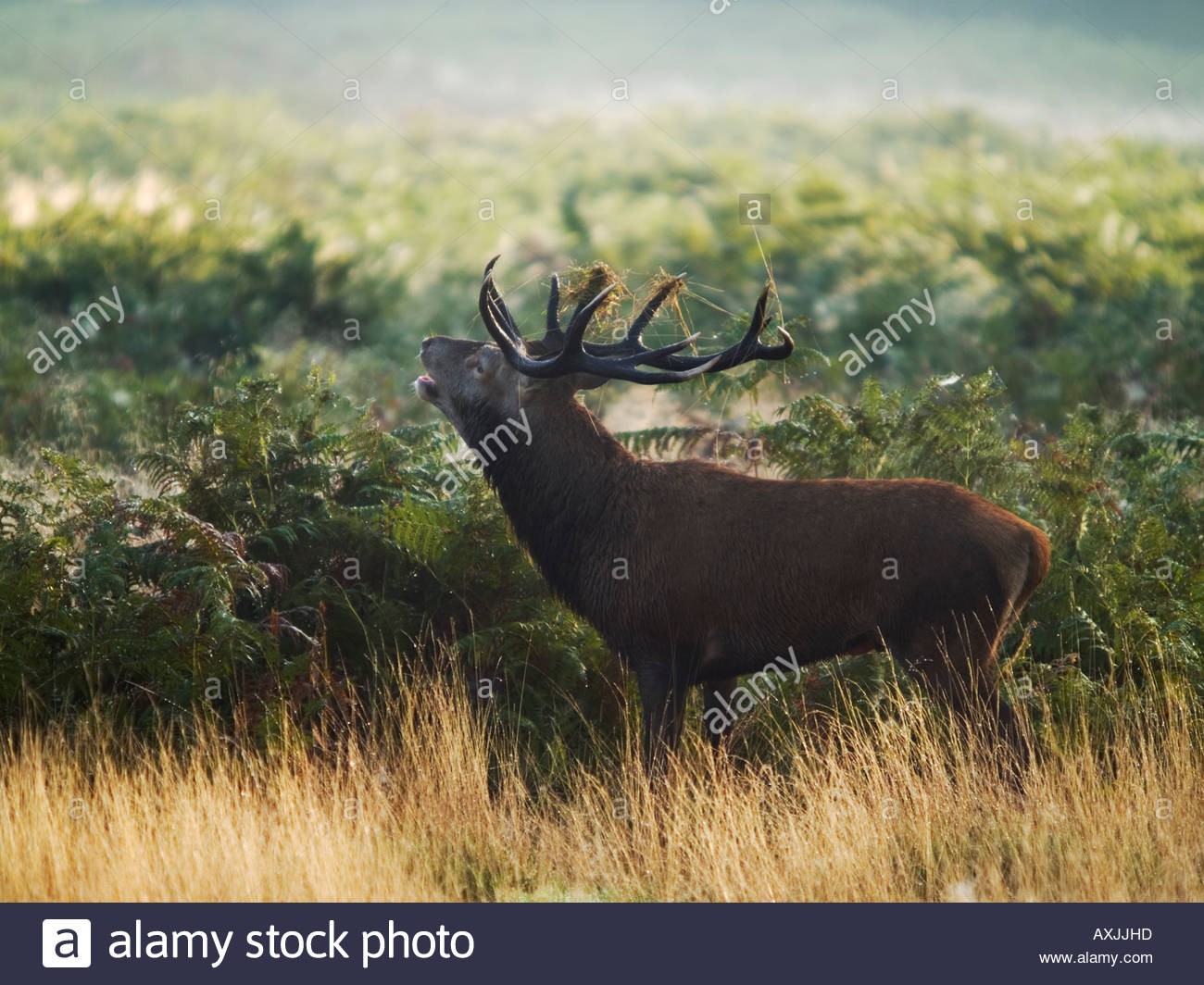 Red Deer (Cervus elaphus) stag roaring during rutting season Stock Photo