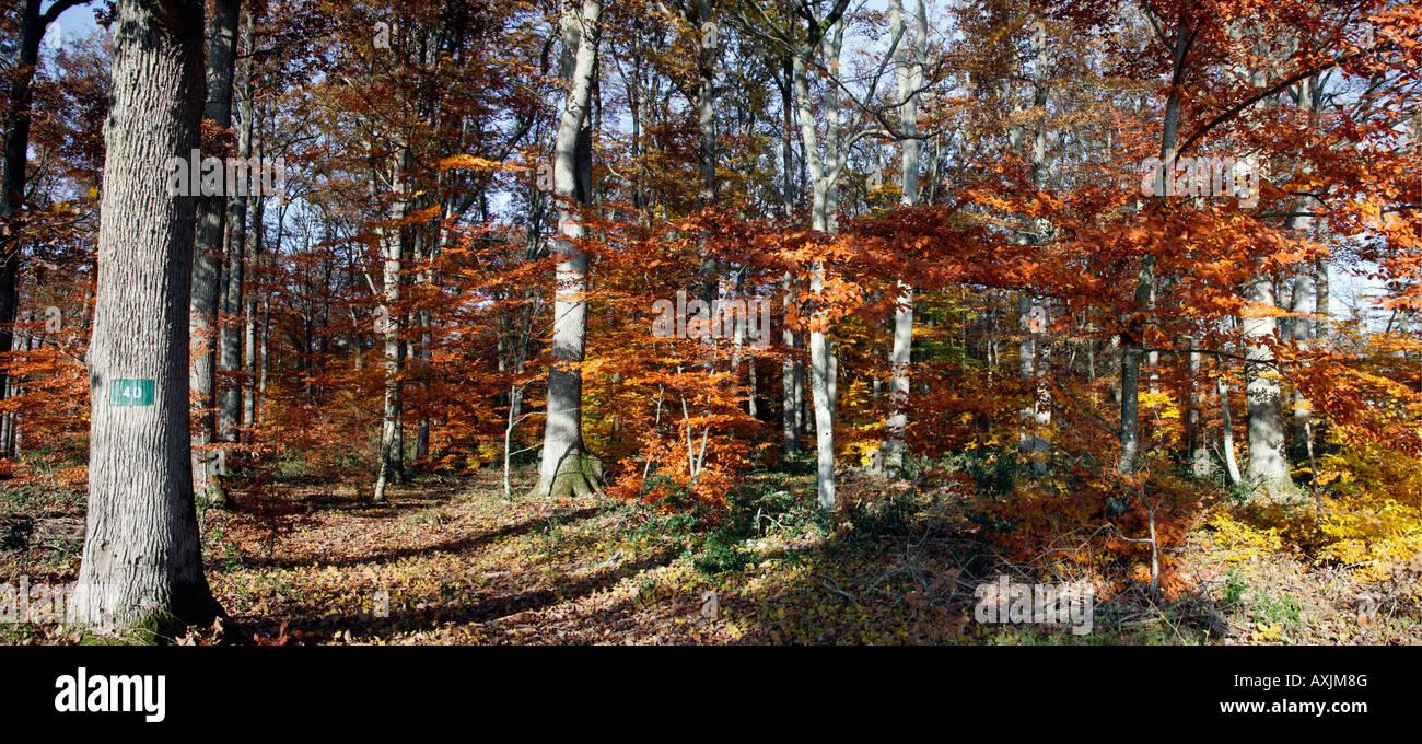 La futaie et route en foret de Troncais en automne Allier 03 Autumn Auvergne Bad season Bad seasons Botanical species - Stock Image