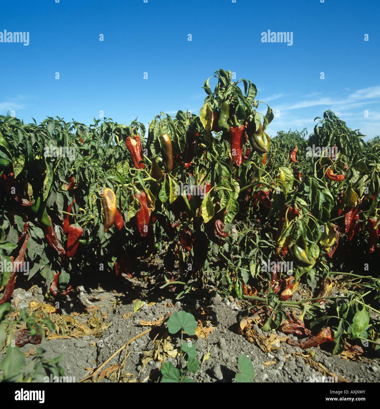 Sweet pepper crop mature crop California USA - Stock Image