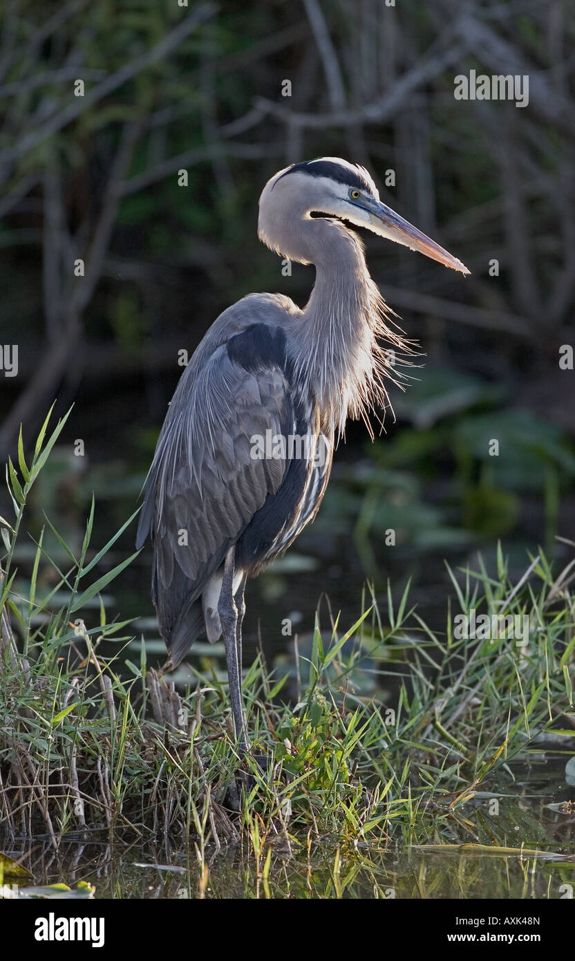 Great Blue Heron waiting for fresh water fish. - Stock Image