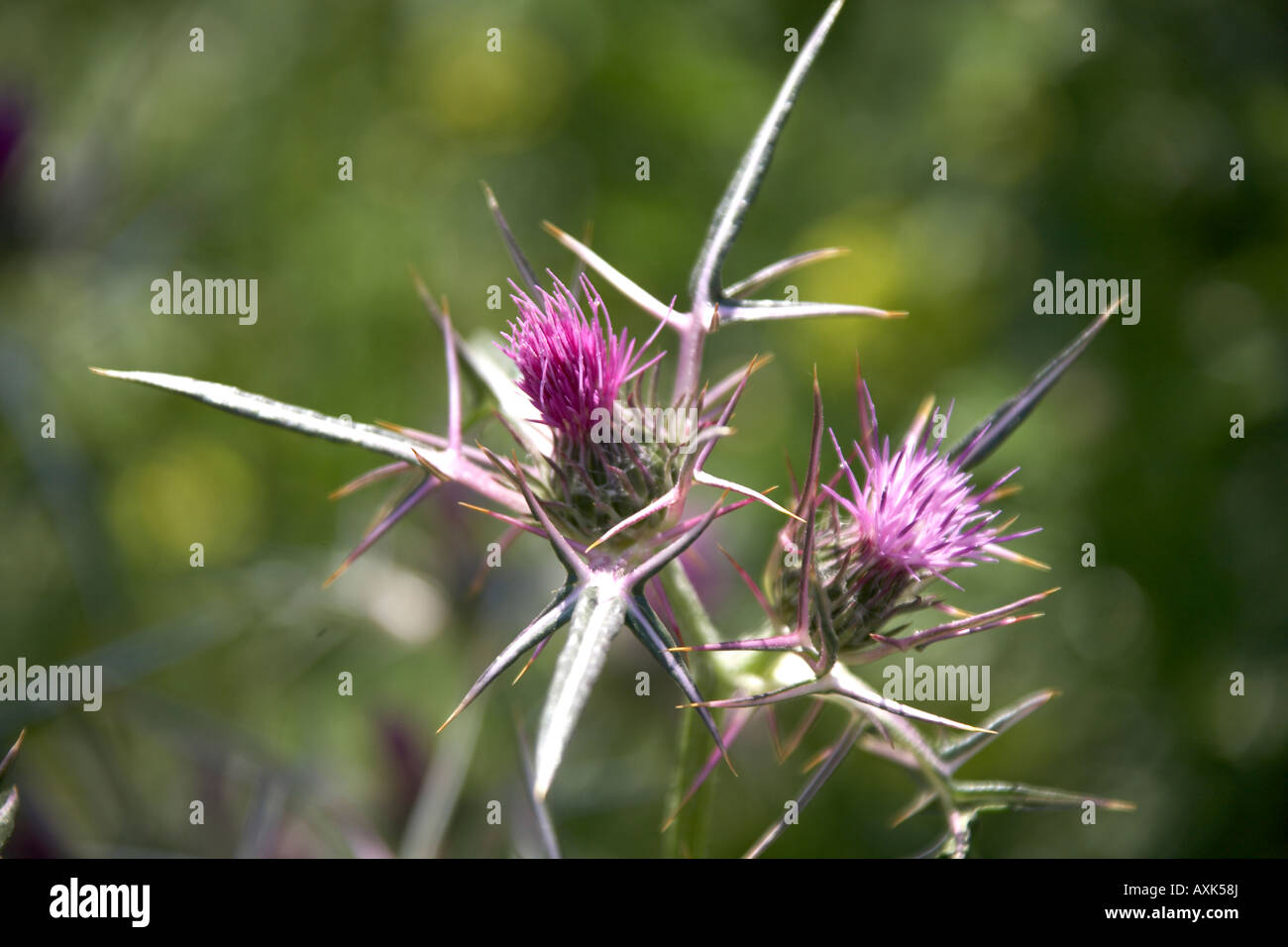 Wild purple thistle flowers in Spring time near Anavissos in Attica or Atiki Greece - Stock Image