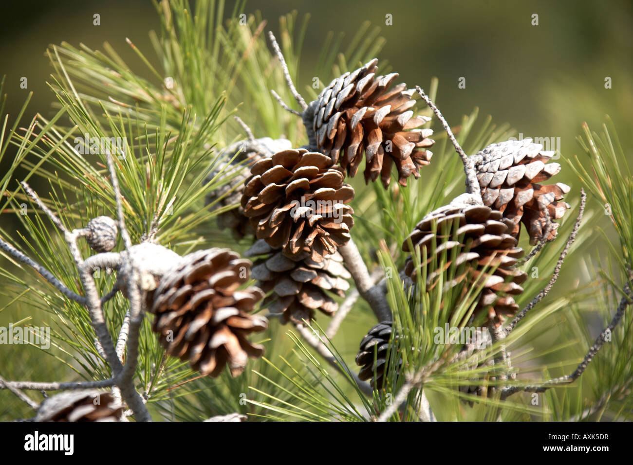 Fir cones from pine tree on green nature reserve conservation area above Saronida in Attica or Atiki Greece - Stock Image
