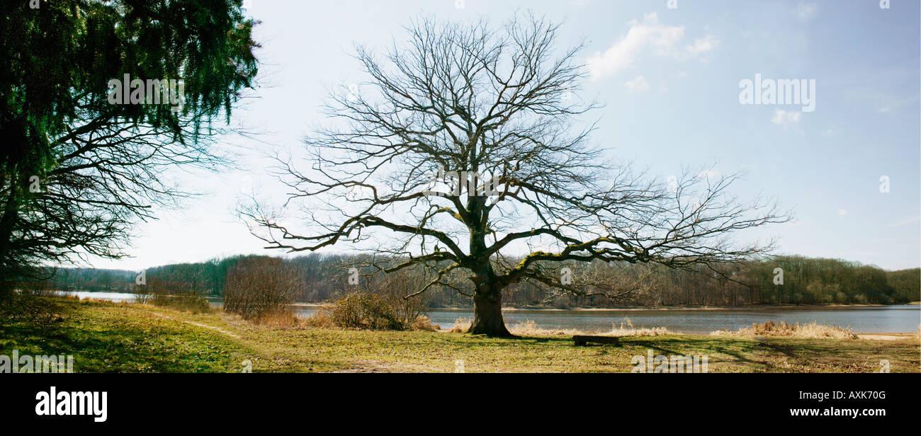 chene solitaire Steineiche Holm Oak Quercus ilex solitary tree Etang de Saint Bonnet dans la for t de Tron ais en - Stock Image