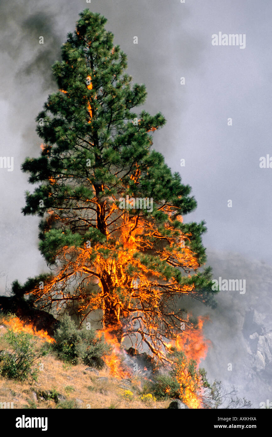 A forest fire in Idaho consumes a ponderosa pine tree. - Stock Image