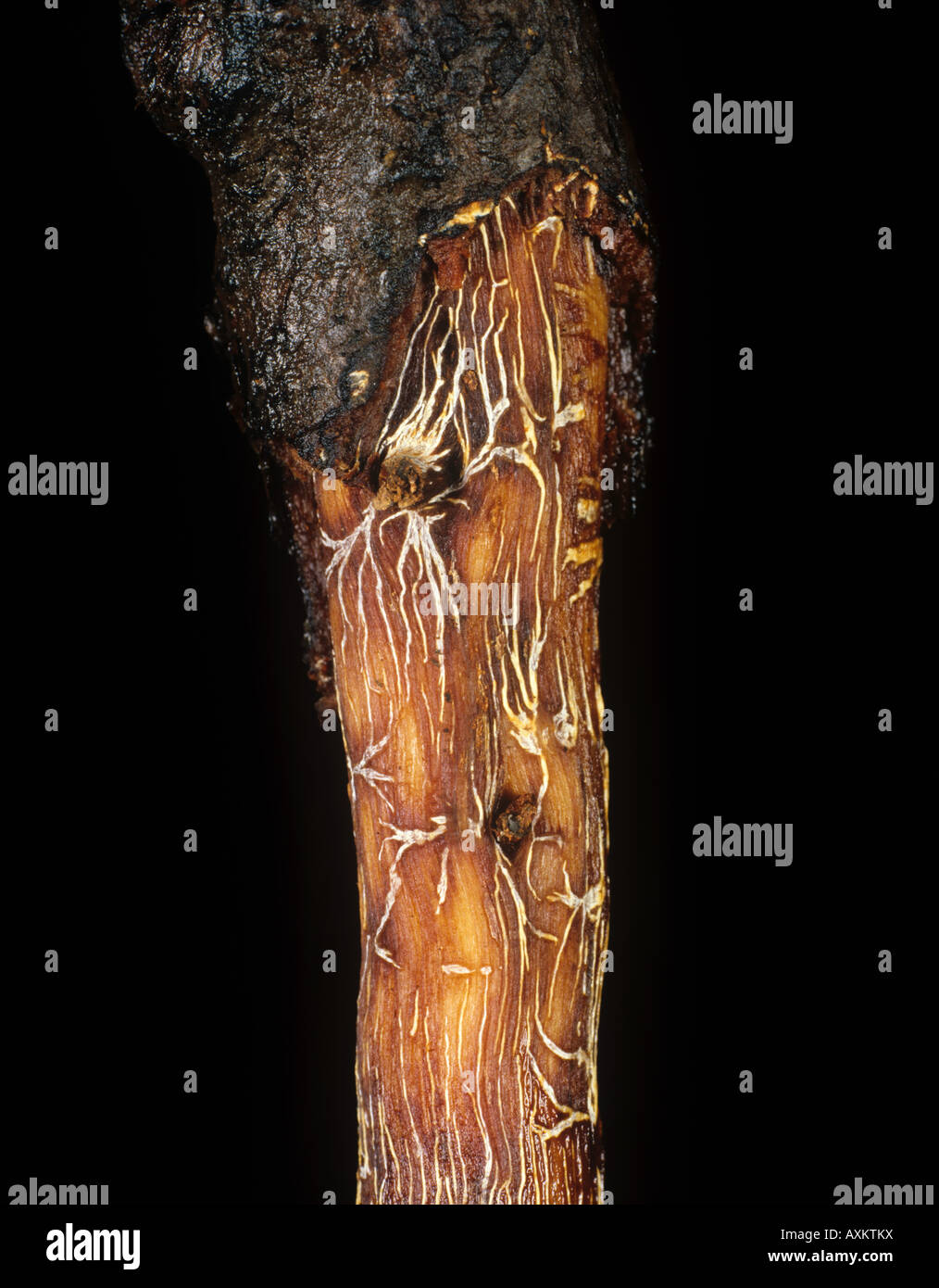 Black root rot Rosellinia pepo star mycelium on cocoa roots Colombia - Stock Image
