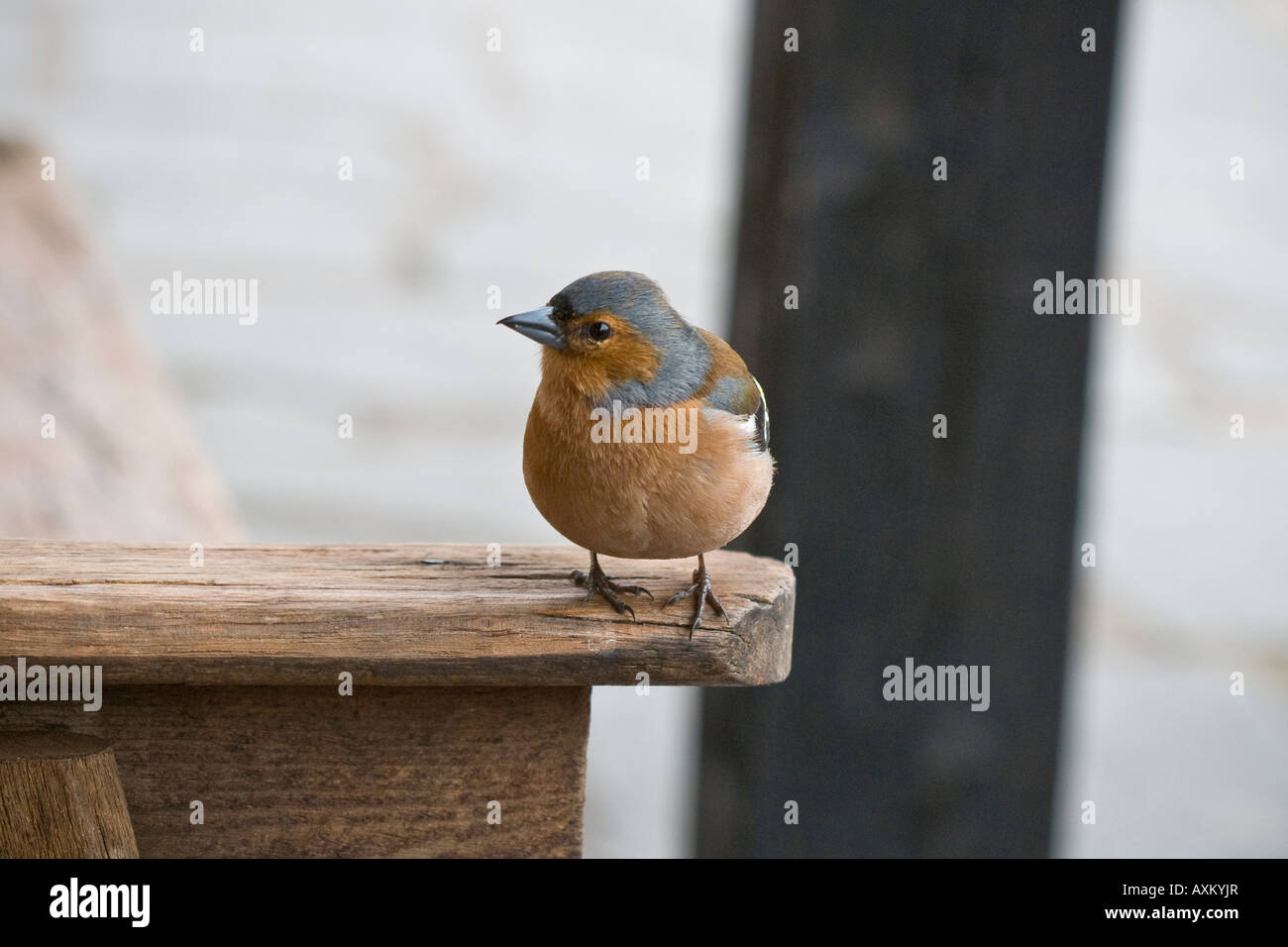 Chaffinch waiting for left overs in Langdale, Lake District - Stock Image