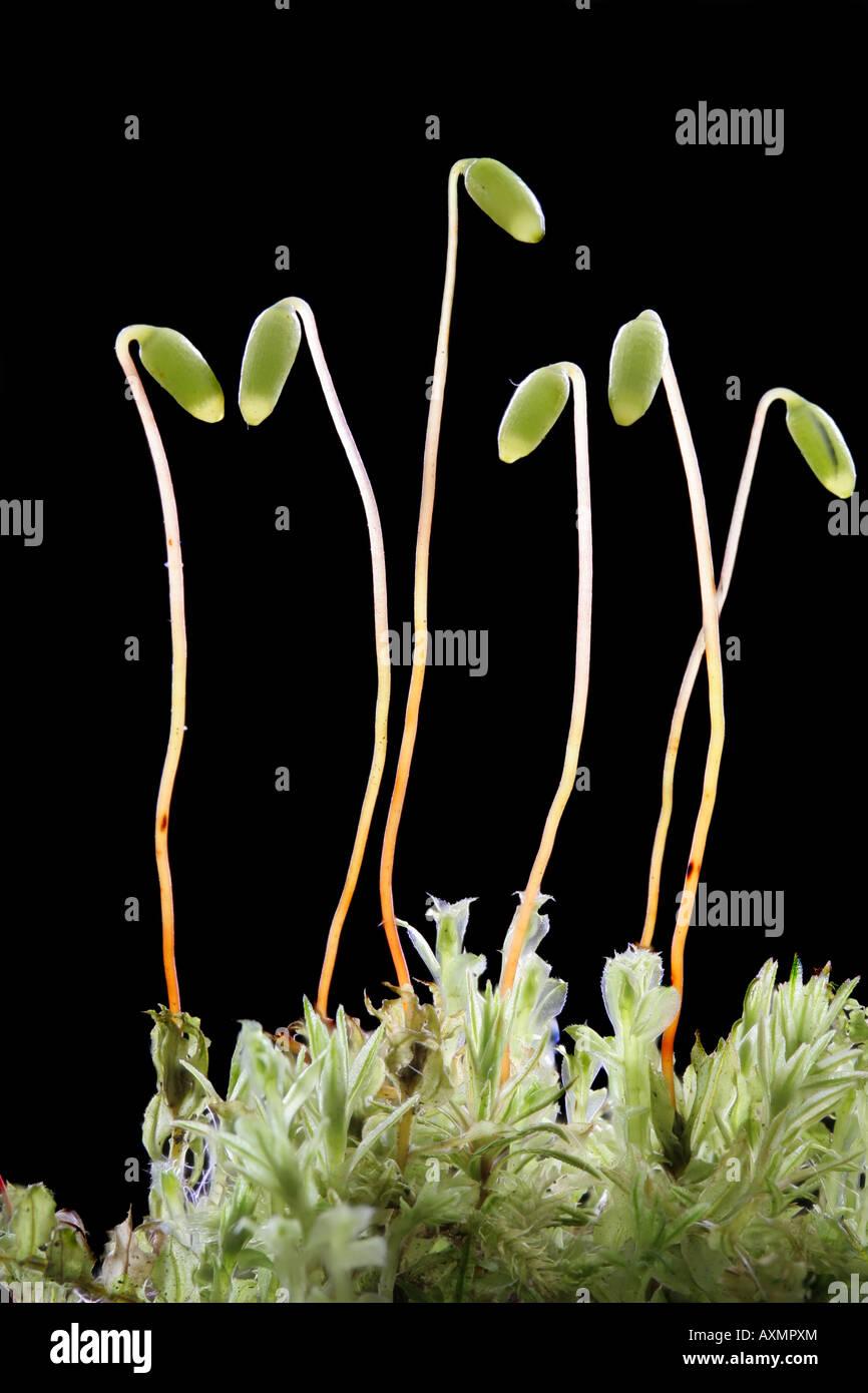 Gametophytes And Sporophytes Of Carpet Moss  Mnium Hornum