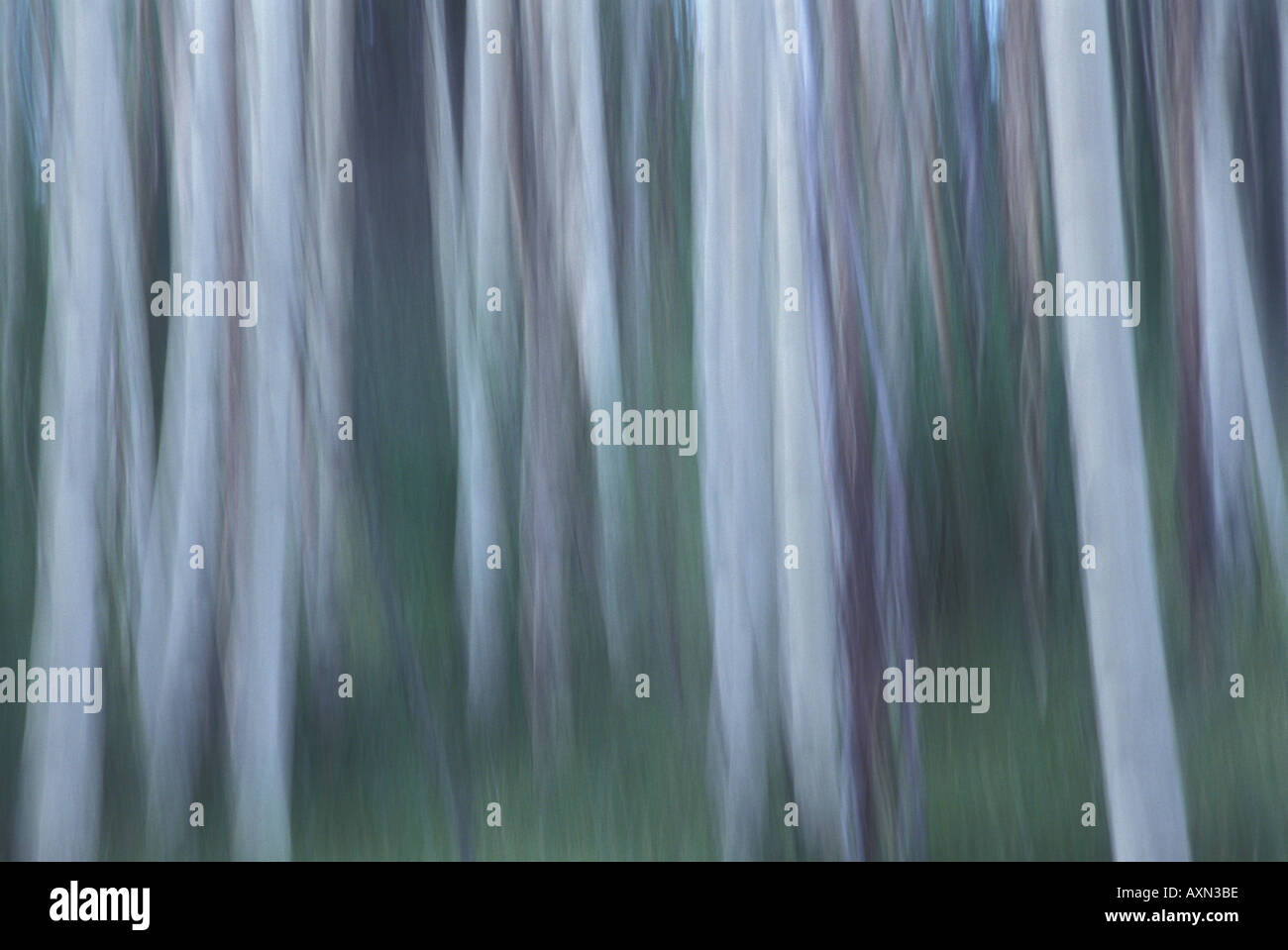 Using camera movement, this is an graphical abstract blur of a grove of aspen trees near Big Tesuque Creek Santa Stock Photo