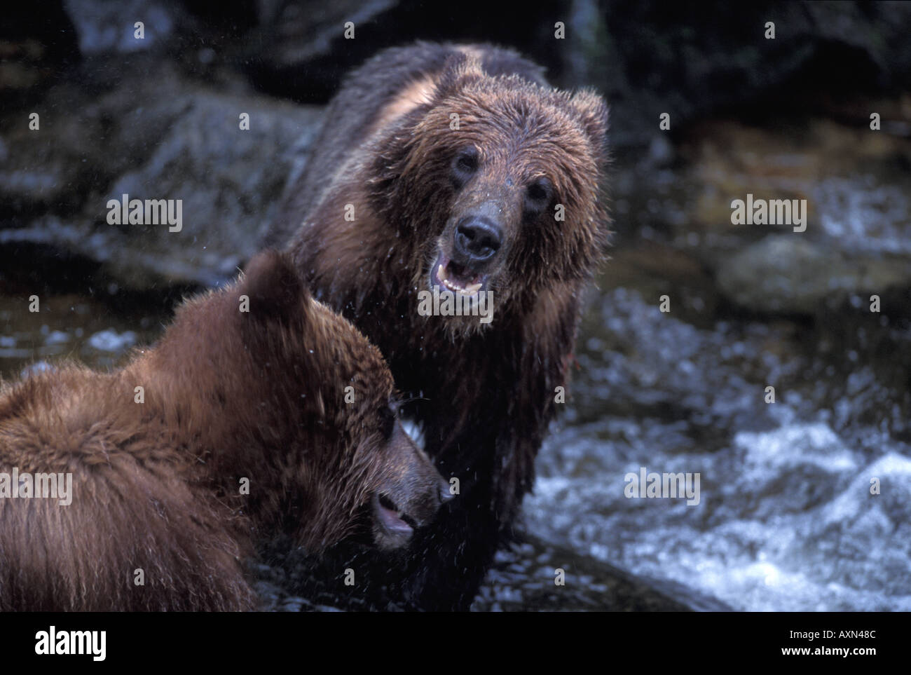 Grizzly bear brothers play fighting at Anon Creek Bear Reserve Southeast Alaska - Stock Image