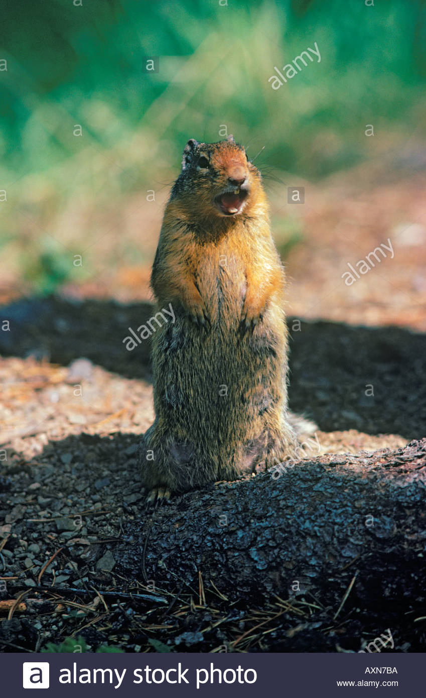 Columbian Ground Squirrel or Spermophilus columbianus giving it s characteristic chirp in Alberta Canada - Stock Image
