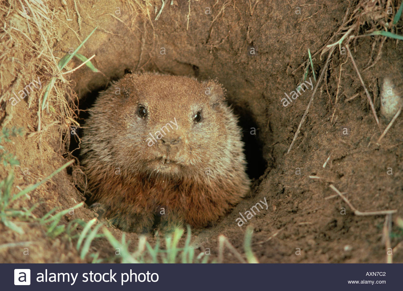 Woodchuck or Marmota monax exiting burrow in farm field in Ontario Canada - Stock Image