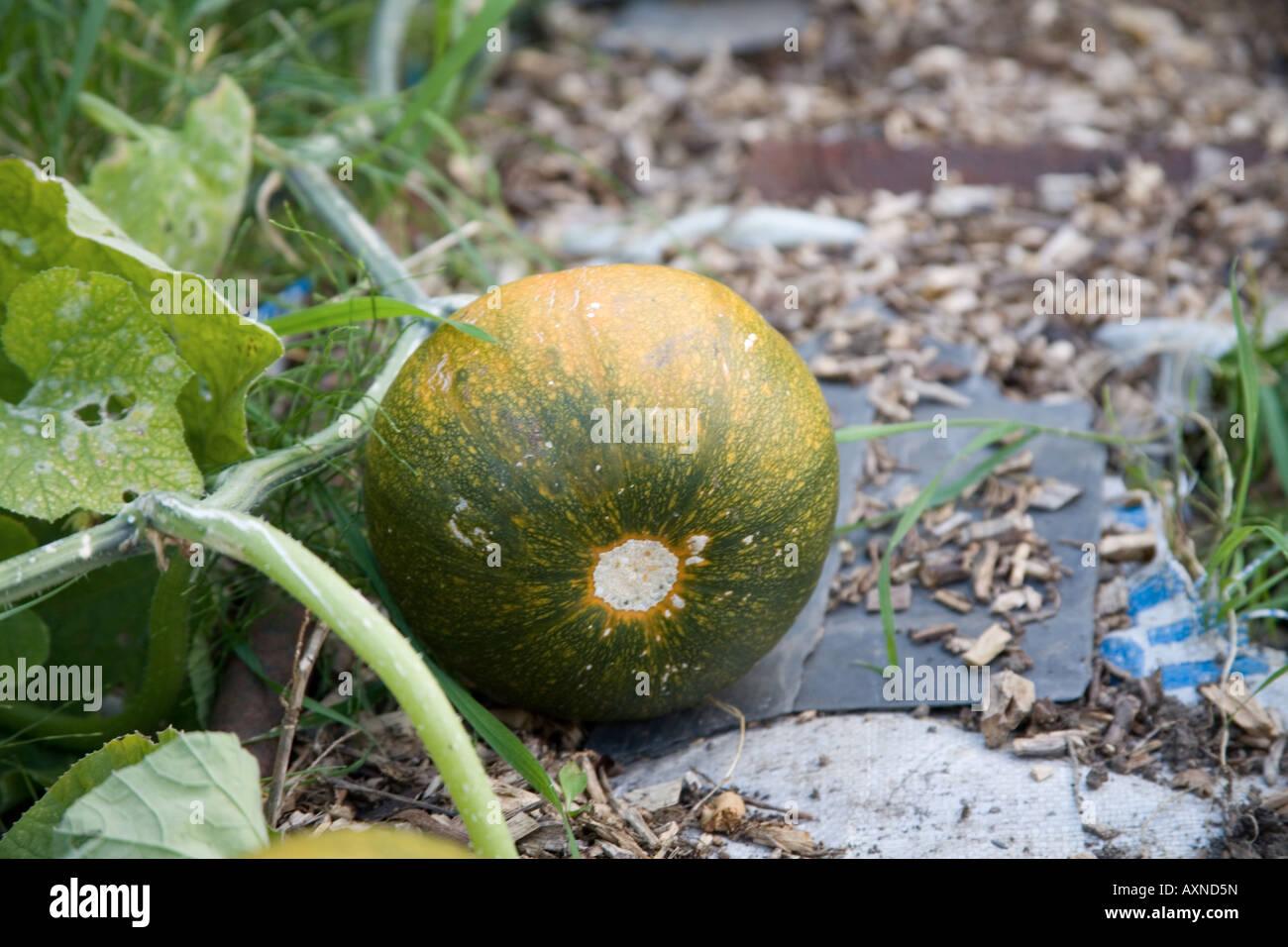 Pumpkin squash growing on allotment - Stock Image