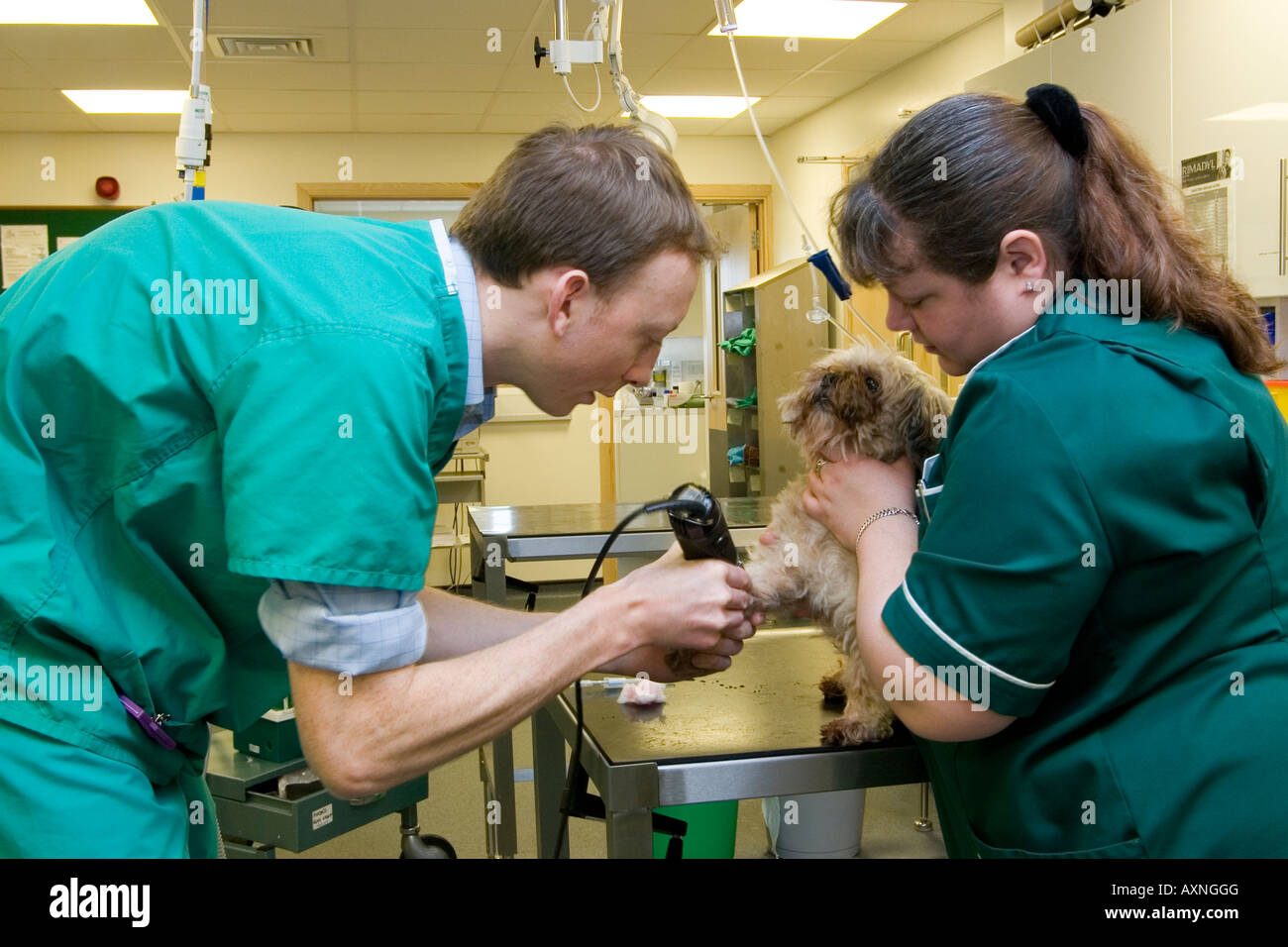 Vet and veterinary nurse attending to small dog in Taverham vets practice in Norfolk - Stock Image