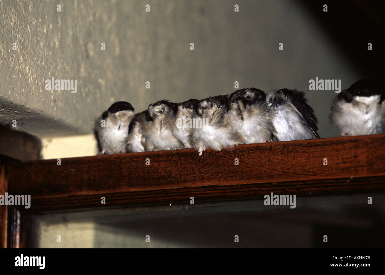 Pearl-breasted Swallow, Hirundo dimidata - Stock Image