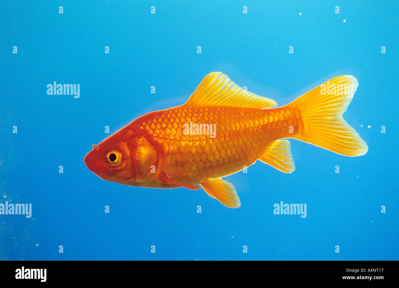 Goldfish (Carassius auratus) seen side-on Stock Photo