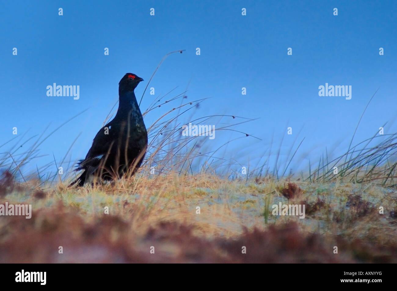 Black Grouse Tetrao tetrix lekking Corrimony RSPB - Stock Image