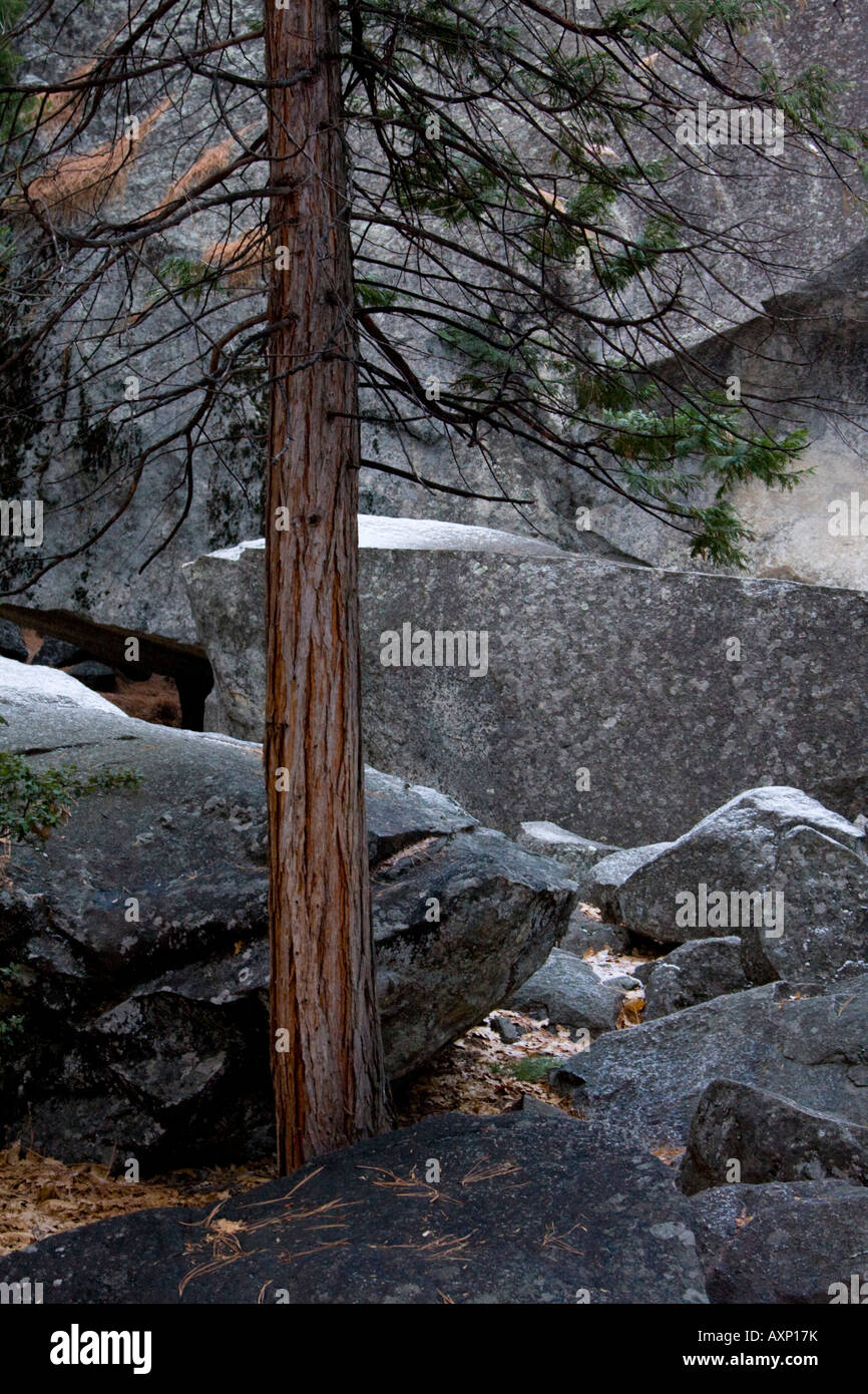 Fir tree and rocks Yosemite USA - Stock Image