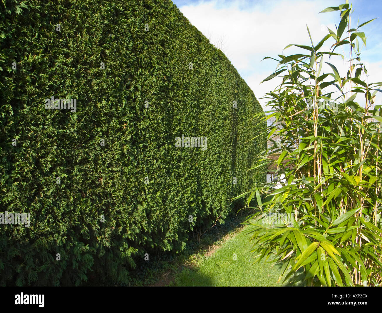 Tall leylandii hedge after annual trimming - Stock Image