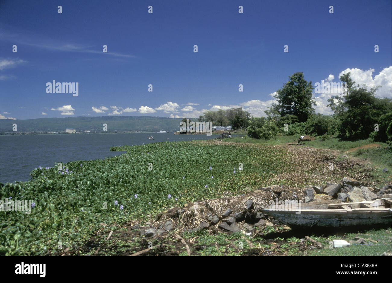 Water Hyacinth growing close the the shore of the Winam Gulf on Lake Victoria Kenya East Africa - Stock Image