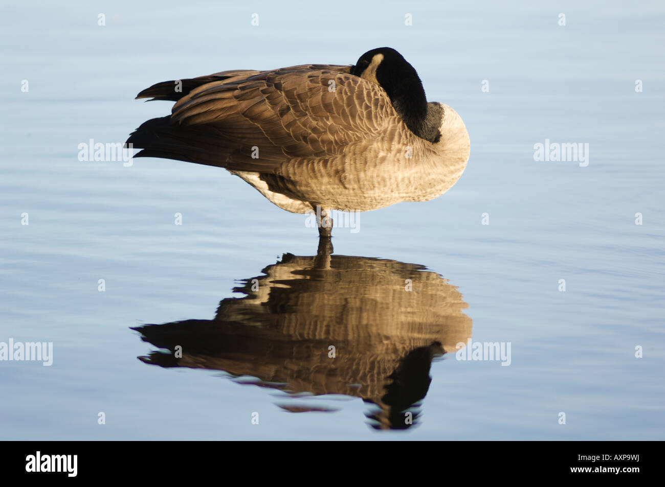 one Canada goose sleeping standing on one leg in the middle of water